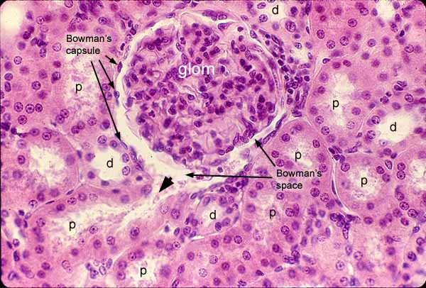 Proximal Convoluted Tubule Histology