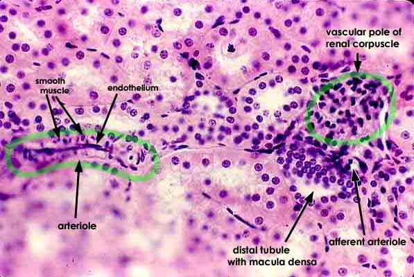 SIU SOM Histology CRR