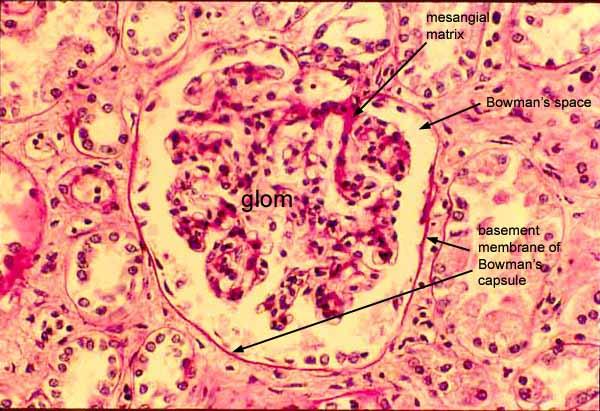 Glomerular basement membrane histology - My site Daot.tk