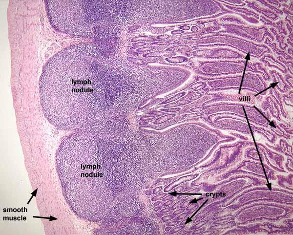 siu som histology gi, Human Body