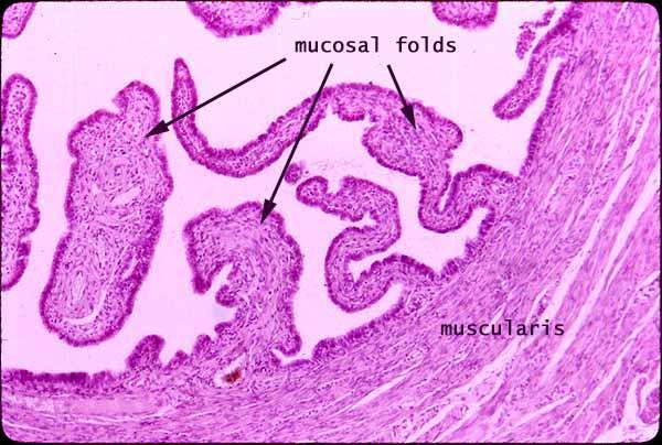 SIU SOM Histology ERG