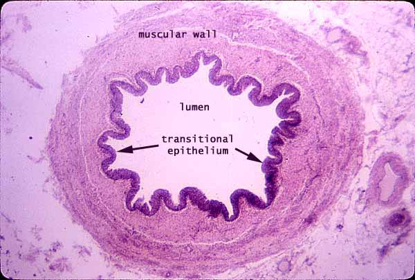 male urethra histology