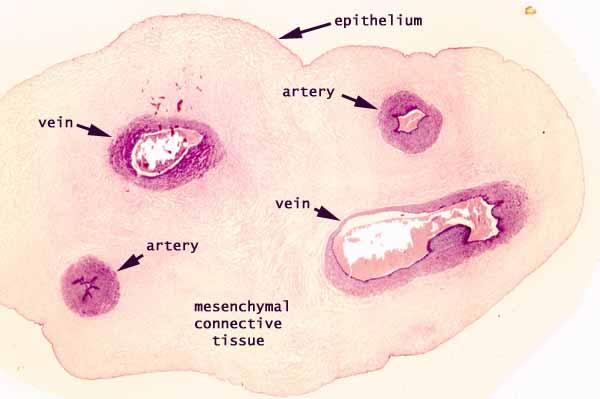 Umbilical Cord Histology SIU SOM Histology ERG
