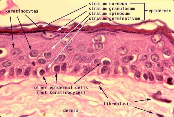 epidermal tissue