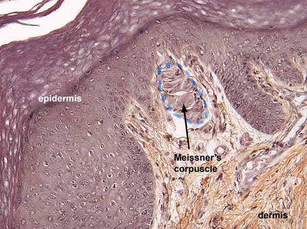 Meissner Corpuscle Diagram