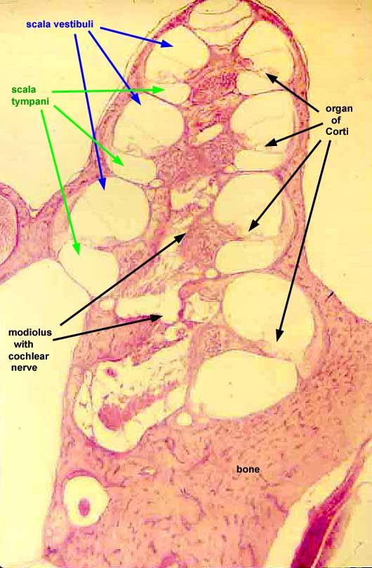 SIU SOM Histology SSB