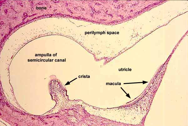 SIU SOM Histology SSBUtricle And Saccule Histology