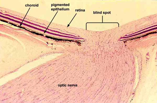 Optic Nerve Histology Image Search Results